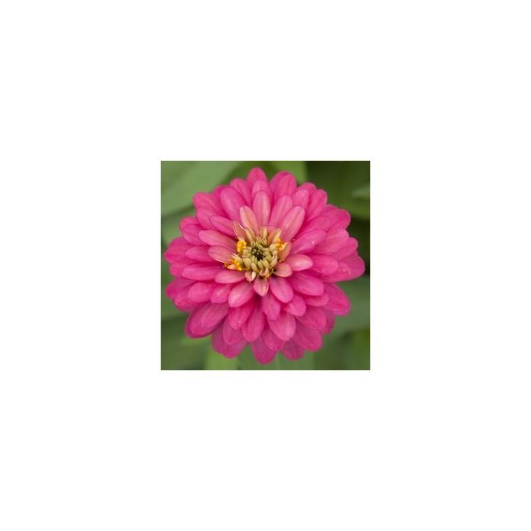 Zinnia multicolore à grandes fleurs en pot de 5 L 405657