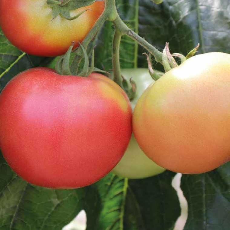 Tomate ronde Rose de Bern Greffée. Le pot de 1 litre 405995