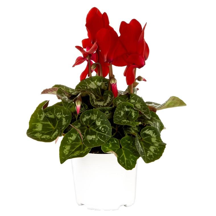 Mini cyclamen rouge. Le pot de diamètre 10,5 cm 412651