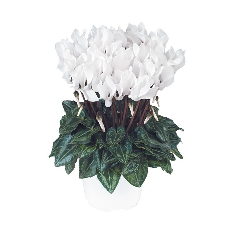 Mini cyclamen blanc. Le pot de diamètre 10,5 cm 412659