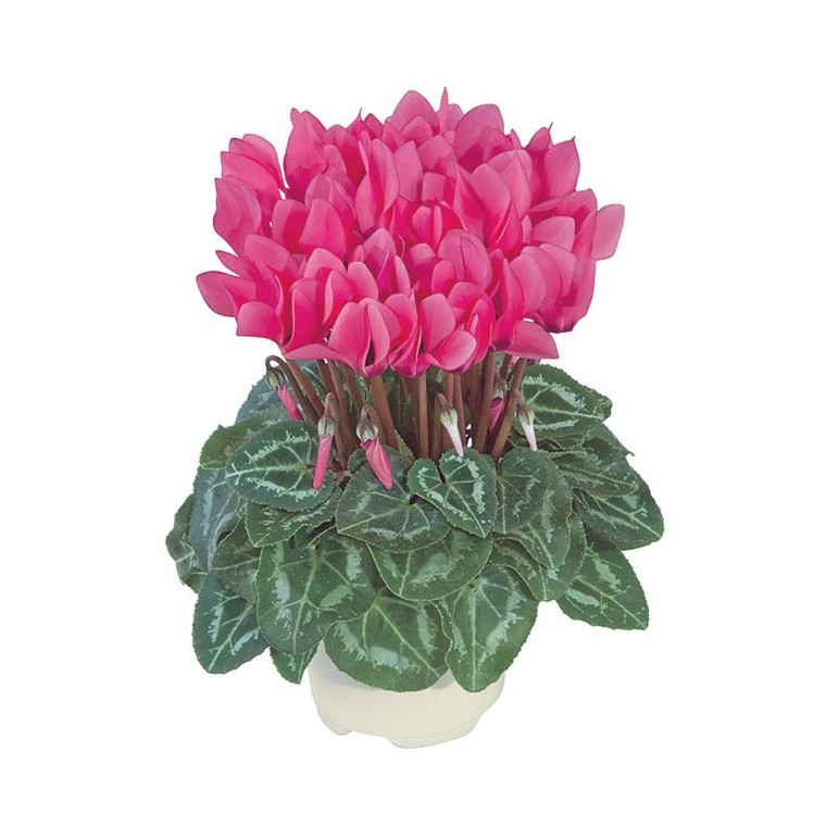 Mini cyclamen fuchsia. Le pot de diamètre 10,5 cm 412678