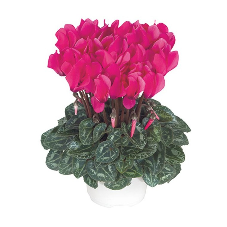 Mini cyclamen fuchsia vif. Le pot de diamètre 10,5 cm 412683