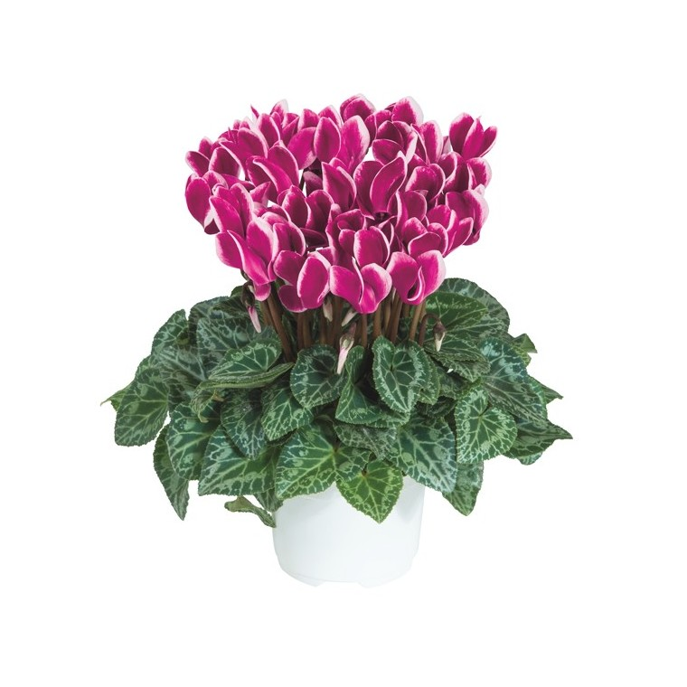 Mini cyclamen fantasia®. Le pot de diamètre 10,5 cm 412690