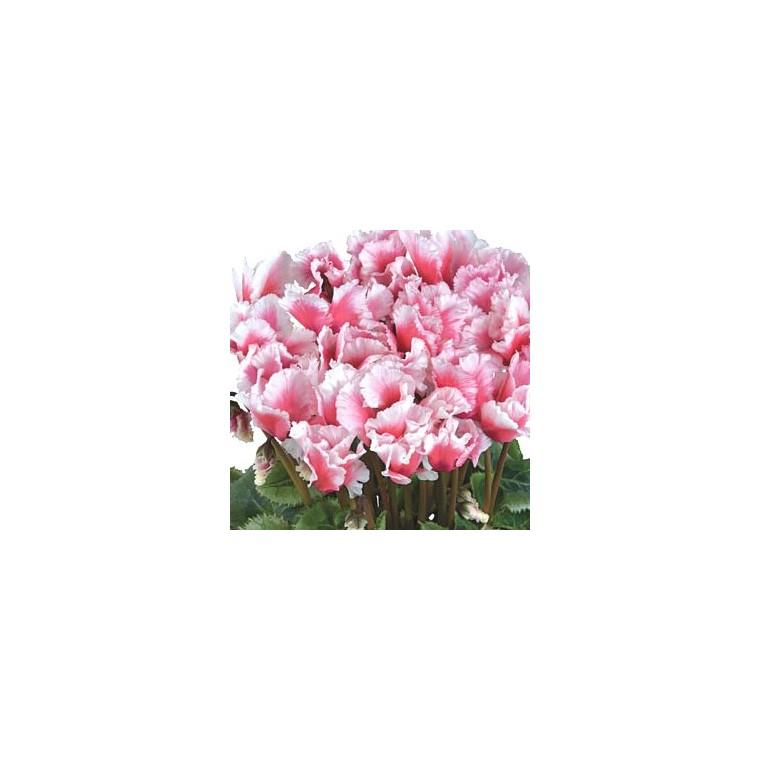 Cyclamen Albanico Magenta. Le pot de 14 cm 412785
