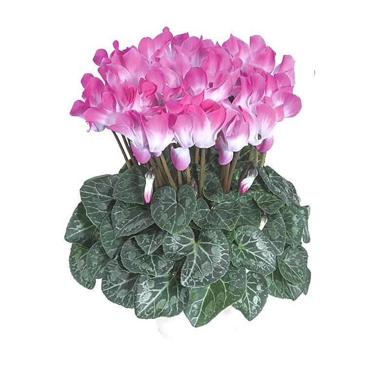 Cyclamen indiaka®. Le pot de diamètre 14 cm 412786