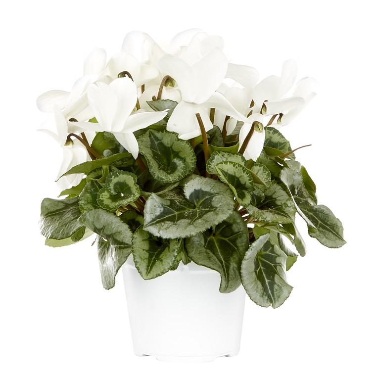 Cyclamen grandes fleurs blanc decora. Le pot de diamètre 20 cm 412795