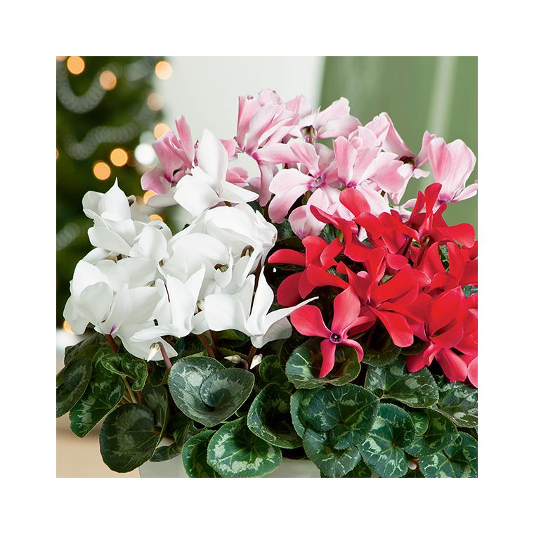 Cyclamen latinia success® evolution. Le pot de diamètre 14 cm 412806
