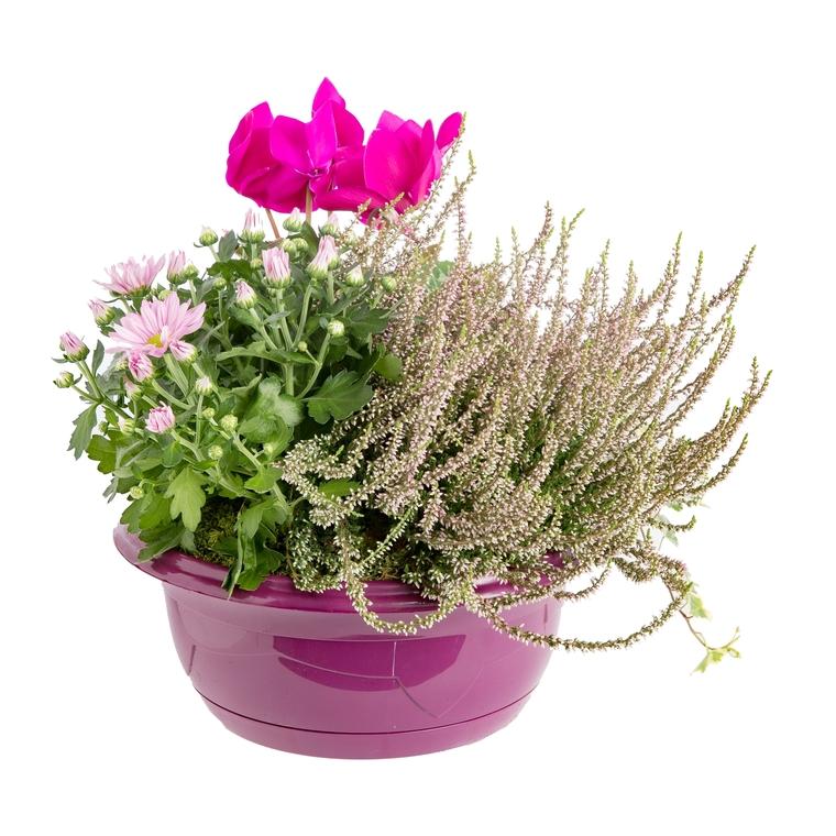 Composition d'extérieur mélange violet rose. La coupe de 24 cm 414740