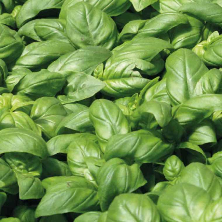 Basilic Grand Vert bio. La barquette de 6 plants 41476