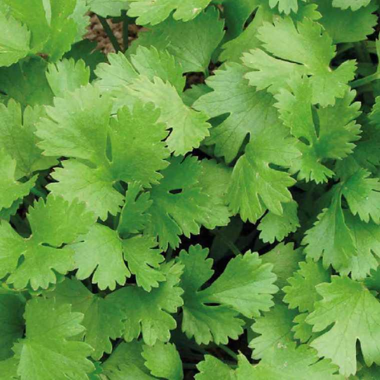 Coriandre bio. La barquette de 6 plants 41477