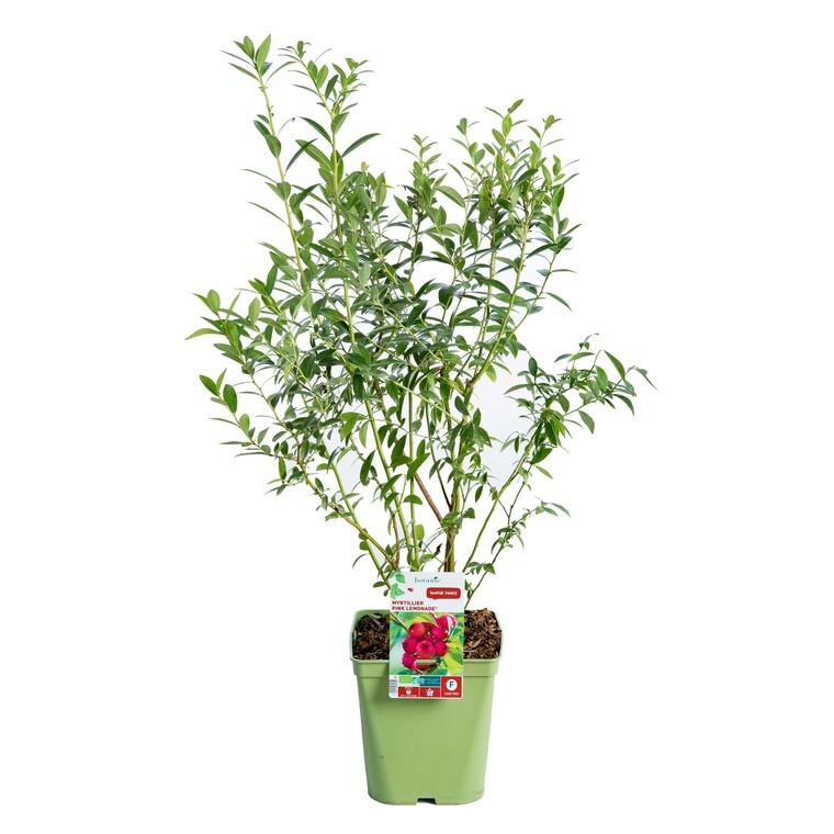 Myrtille Pink Limonade collection botanic® 414818