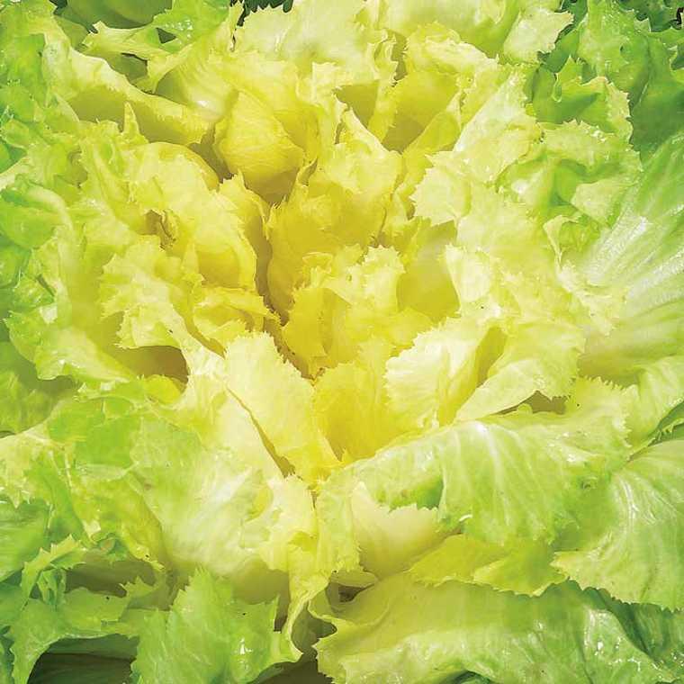 Chicorée Scarole Séance bio. La barquette de 12 plants 41485