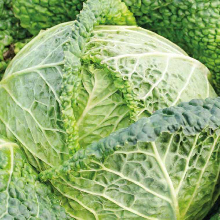 Chou De Milan Cantasa bio. La barquette de 3 plants 41492