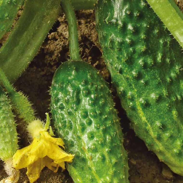 Cornichon Hocus bio. La barquette de 3 plants 41500