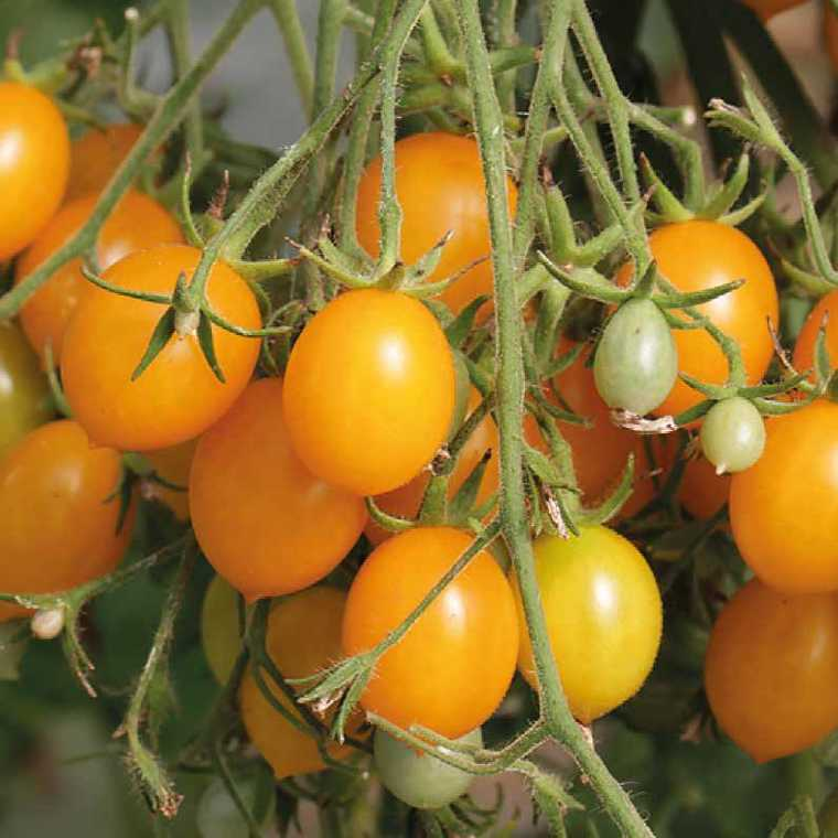 Tomate Cerise ronde Gold Nugget bio. Le pot compostable de 10.5 cm 41511