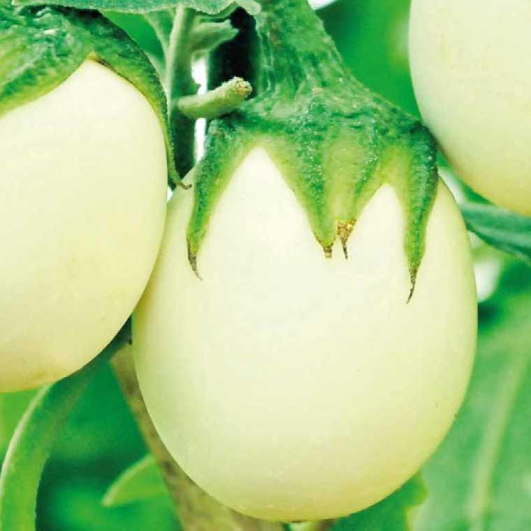 Aubergine Blanche Ronde A Oeuf. Le pot compostable de 10,5 cm 41515