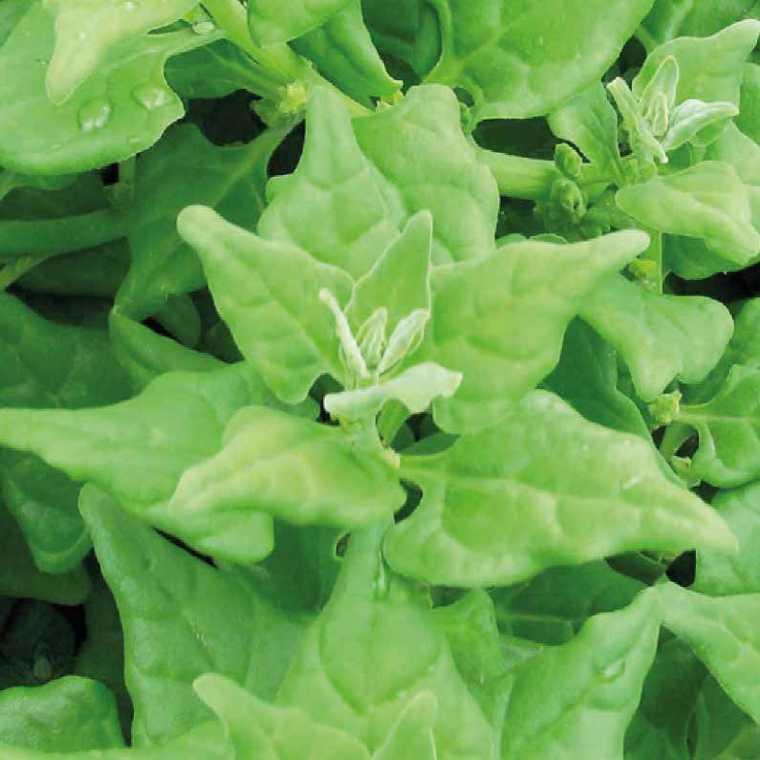 Tétragone Cornue bio. Le pot compostable de 10.5 cm 41520
