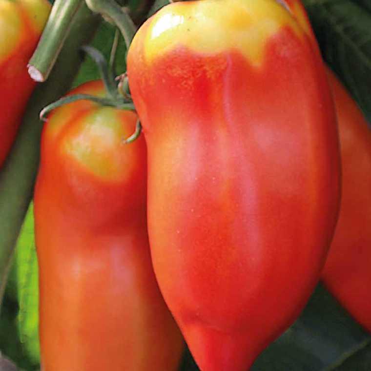 Tomate allongée Cornue Des Andes. Le pot de 10,5 cm 41527