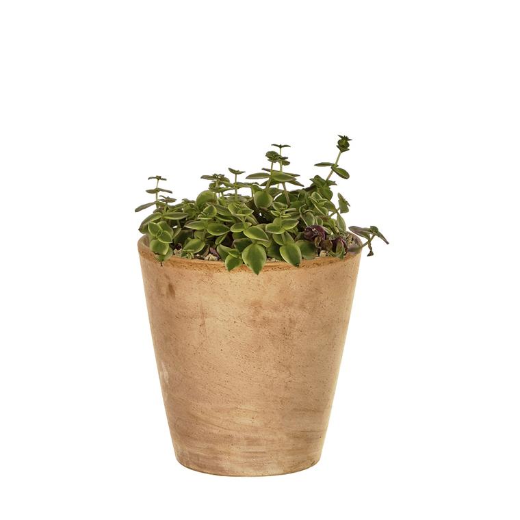 Crassula marginalis variegata en pot Terre cuite H 15 x Ø 15 cm 415676