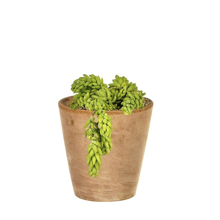 Sédum morgagnanum en pot Terre cuite H 40 x Ø 15 cm 415678