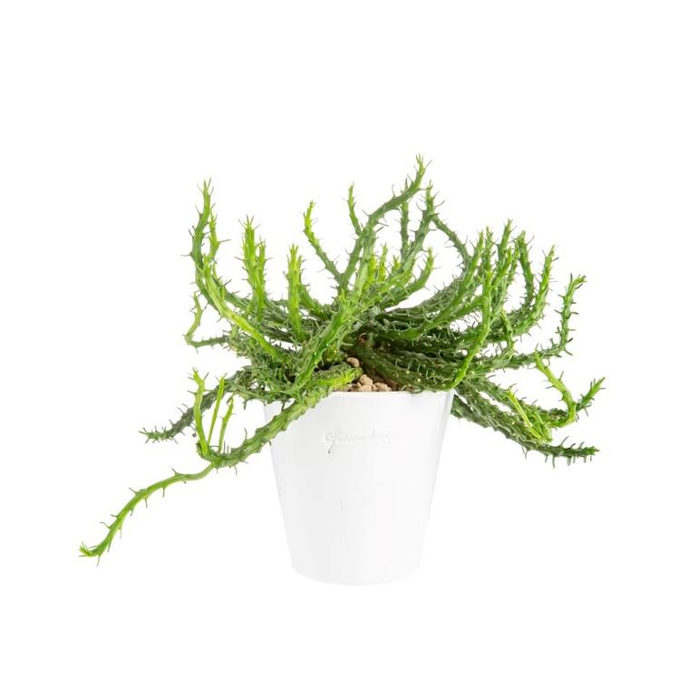 Euphorbia en pot blanc émaillé H 100 x Ø 10 cm 415698
