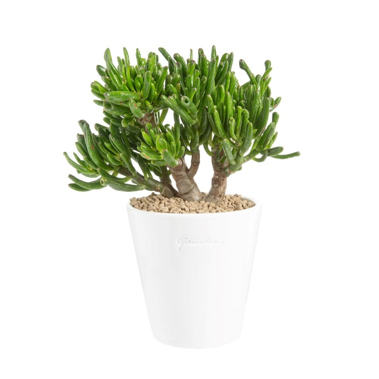 Crassula gollum en pot blanc émaillé H 100 x Ø 15 cm 415701