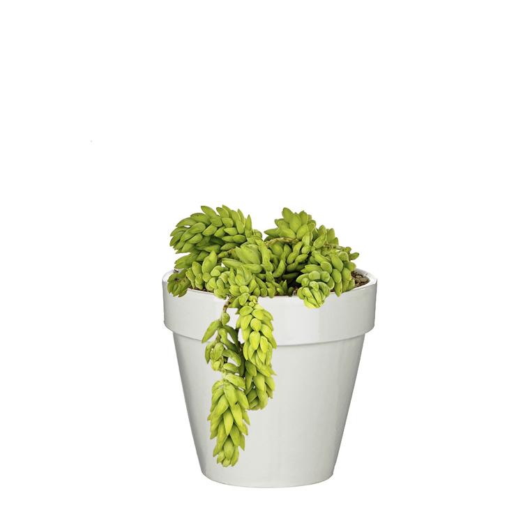 Sédum morgagnanum en pot blanc émaillé H 40 x Ø 15 cm 415708