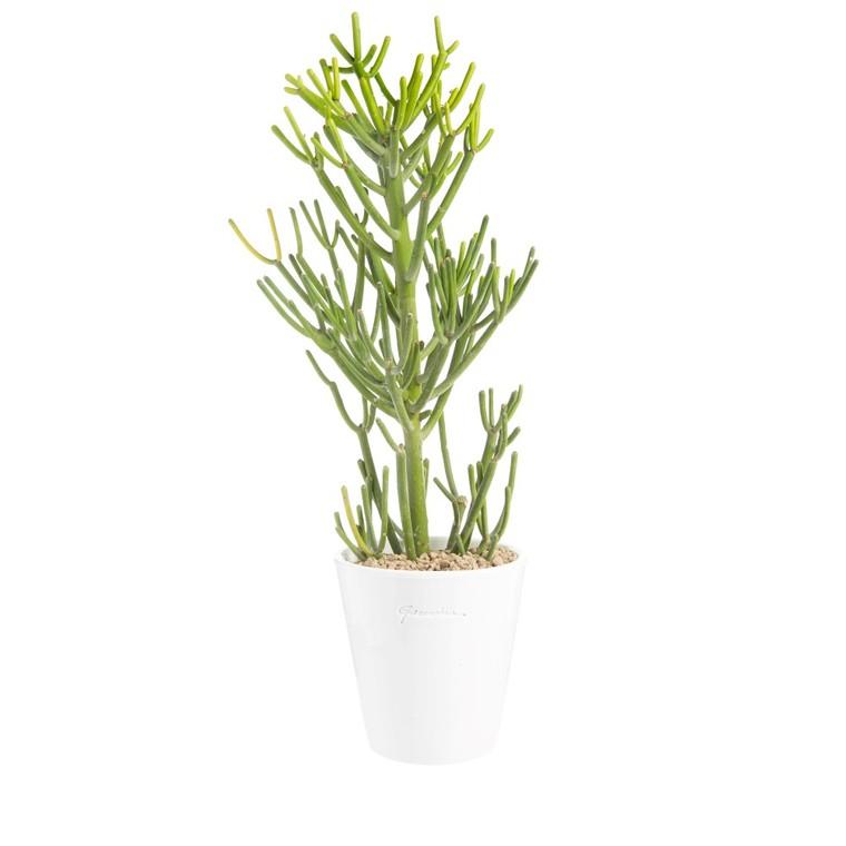 Euphorbia tirucalli en pot blanc émaillé H 200 x Ø 15 cm. 415710