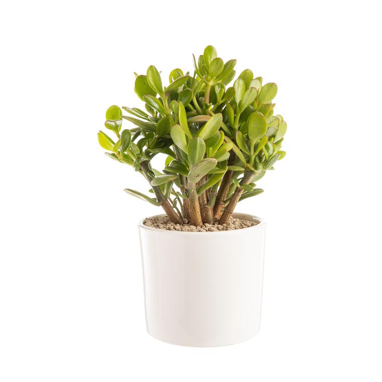 Crassula argentea en pot blanc émaillé H 10 x Ø 20 cm 415715