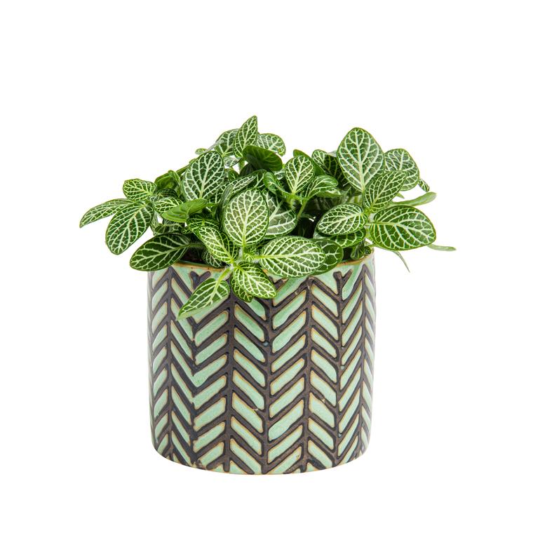 Fittonia avec cache-pot en céramique Ø 6 cm 415919
