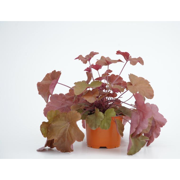 heuchera timeless orange. Le pot diam 12 cm 416164