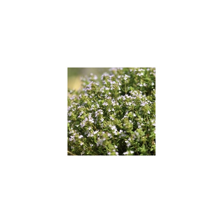 Thym ordinaire bio en pot décoratif de 5 L 416262