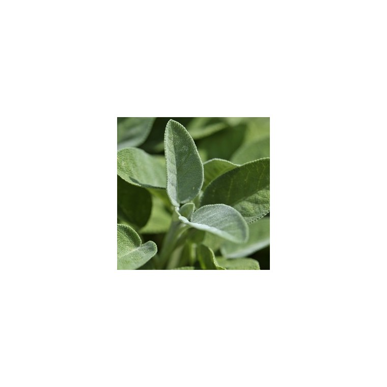 Sauge officinale bio en pot décoratif de 5 L 416264