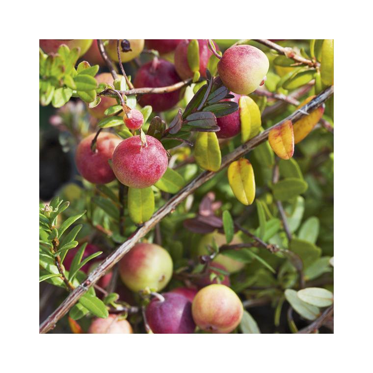 Canneberge Cranberry Le pot de 2 litres 423693