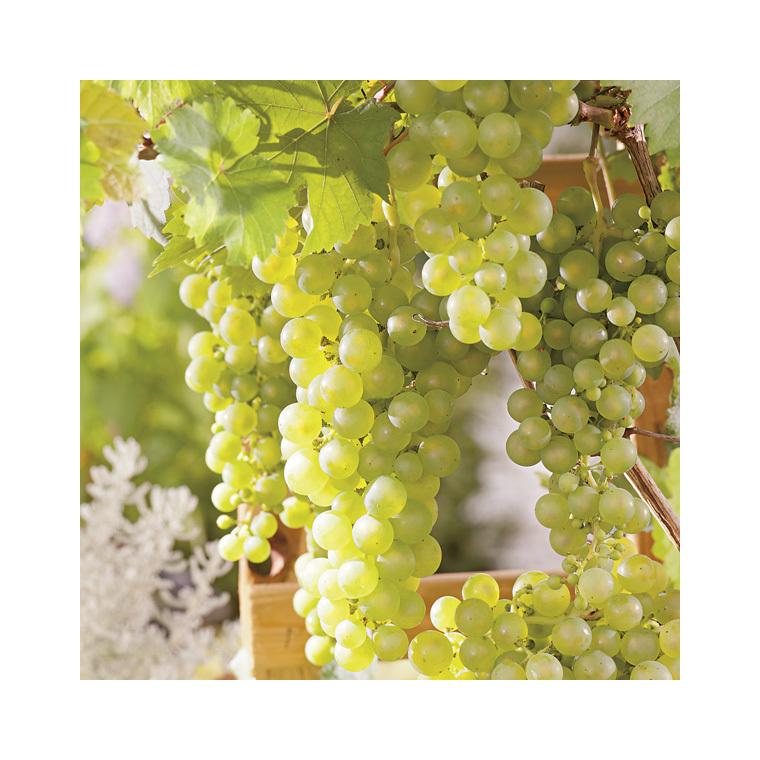 Vigne Chasselas doré Le pot de 2 litres 424277