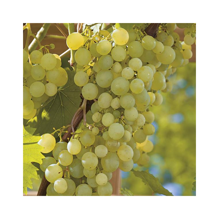 Vigne Perdin® Le pot de 2 litres 424304