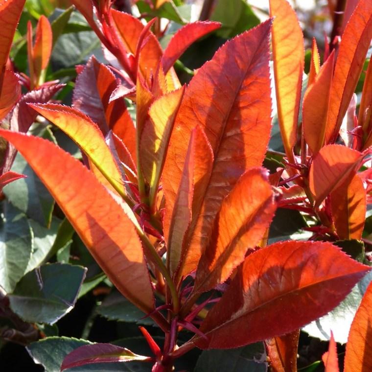 Photinia Fraseri Red Robin 1/2 tige en pot de 18 L rouge 424777