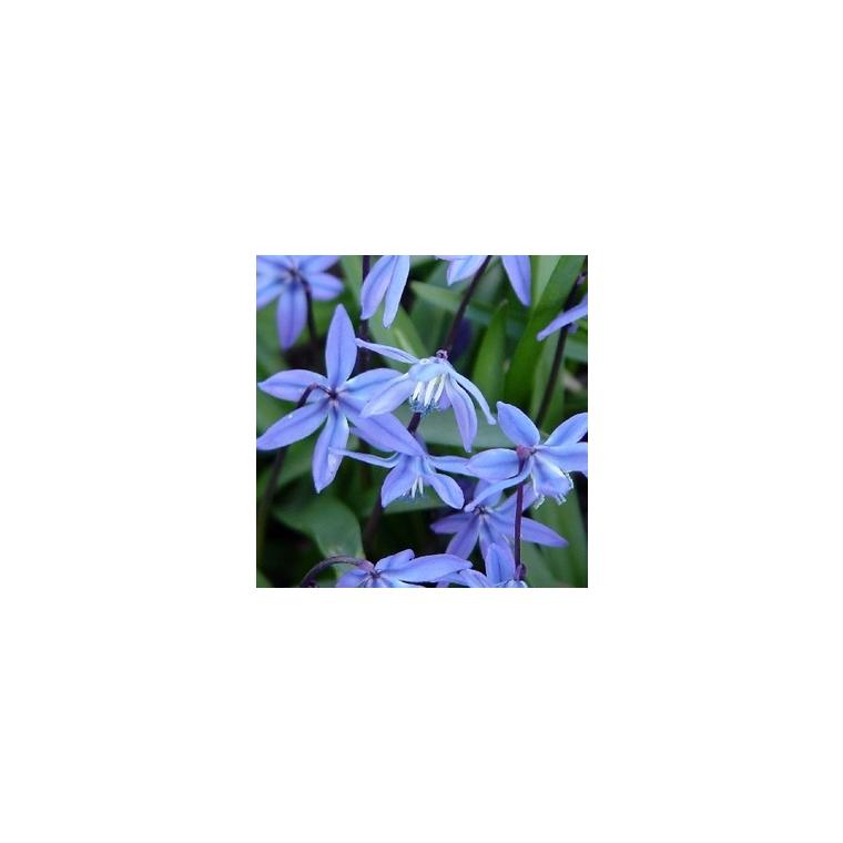 Scille de Sibérie bleue en pot de 10, 5 cm 428866