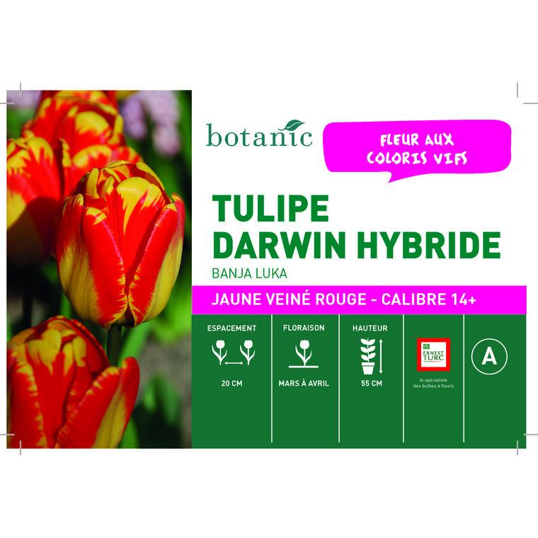 Bulbe tulipe darwin hybride banja luka jaune botanic® en vrac 431241