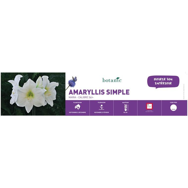 Amaryllis maria vrac 431313