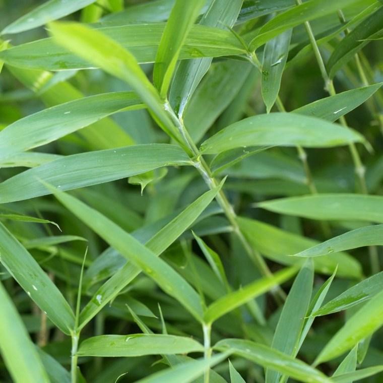 Bambou Pleioblastus Pumilus. Le pot de 3 litres 434319