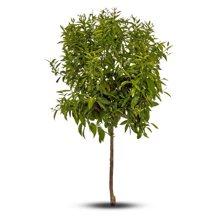 Mandarinier à planter dans son pot de 15 L 438257