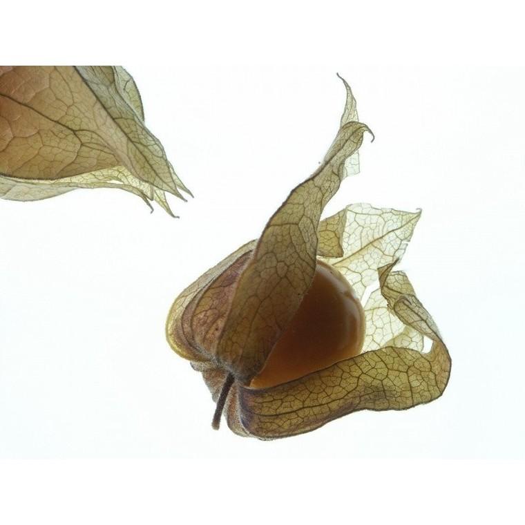 Physalis bio de France - Barquette de 100g 439818