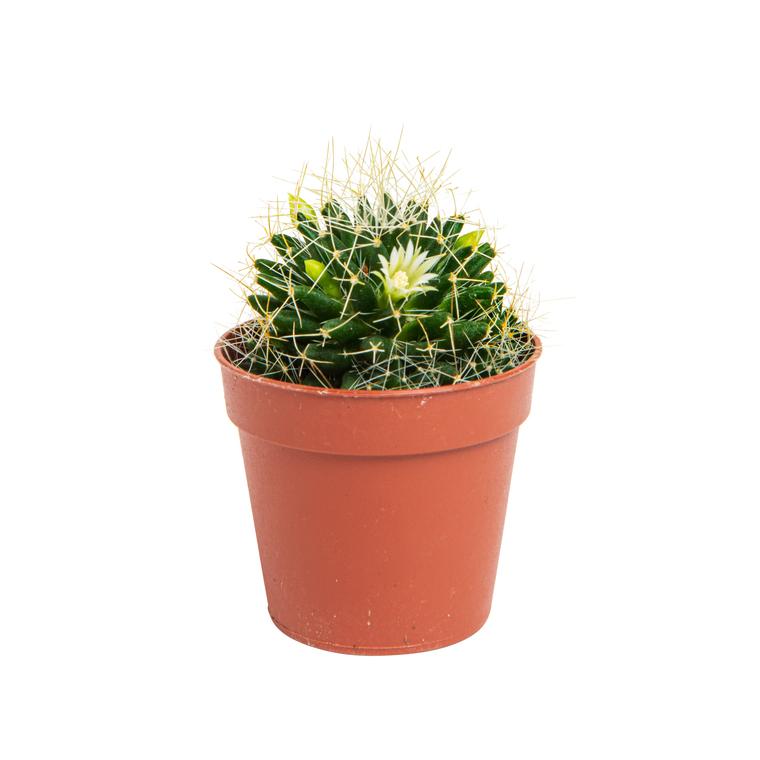 Cactus varié botanic® - Pot 5,5 cm de diamètre 440140