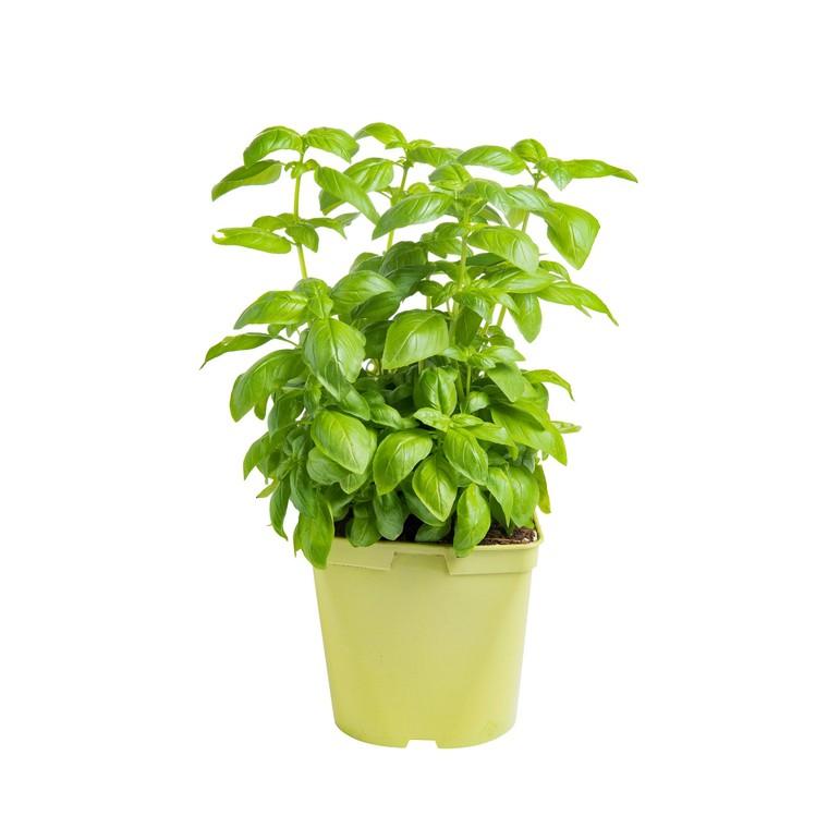 Basilic Grand Vert. Le pot recyclé de 2,5 litres 440379