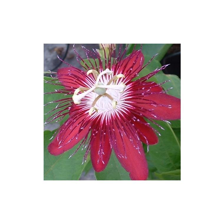 Fleur de la passion tipi. Le pot de 3 litres 191091