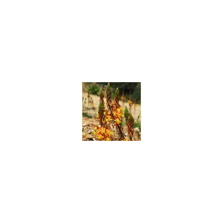 Bulbinella. Le pot de 9x9 cm 442657