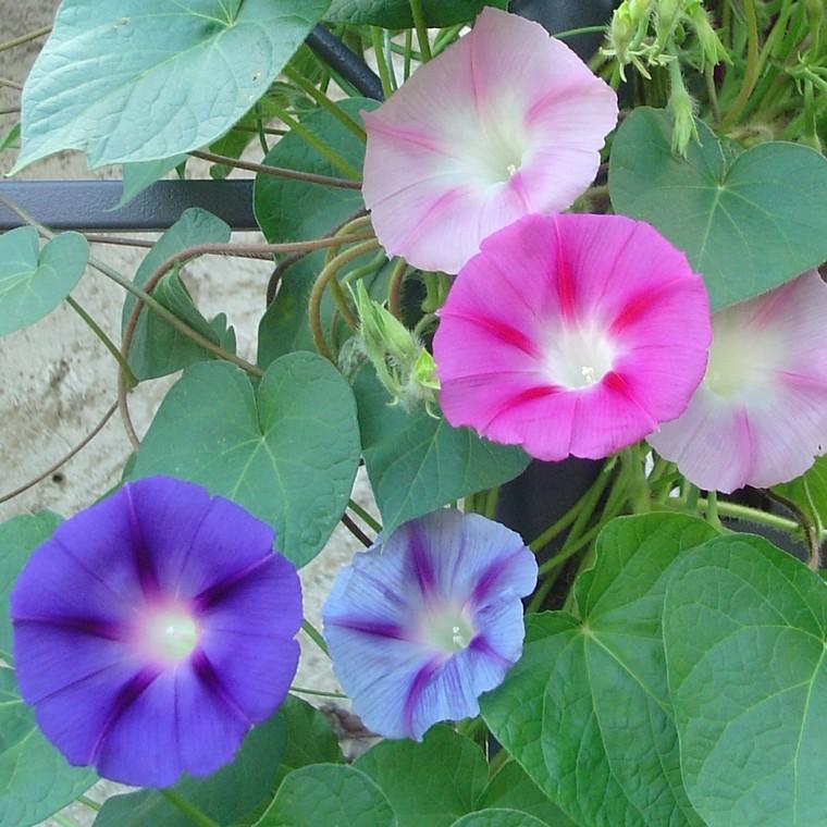 Ipomée à fleurs. Le pot de 9 x 9 cm 442957