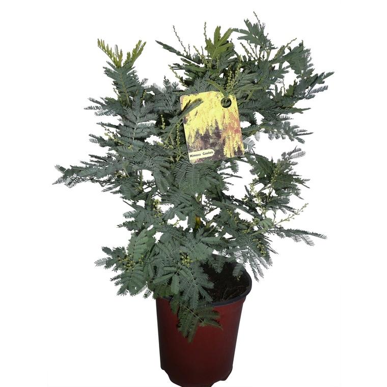 Acacia Le Gaulois Marcotte en touffe – Pot de 3L 444315