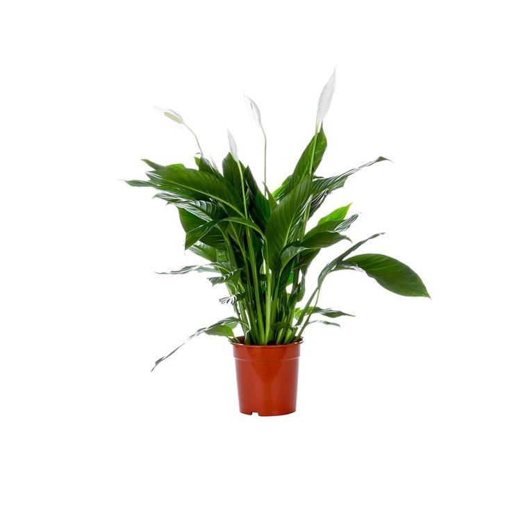 Spathiphyllum Strauss pot Ø17 cm/ H75 cm 445799